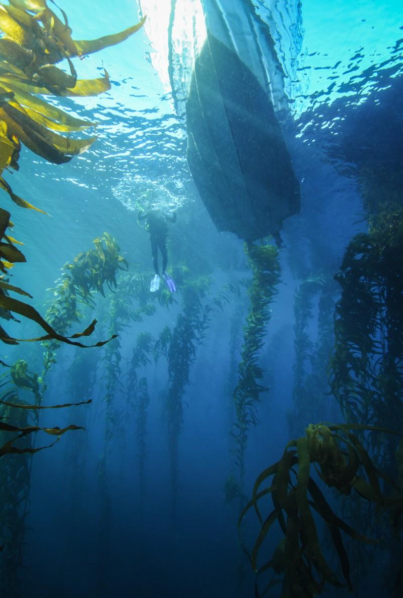 Tasmanian kelp forest. Photo: Emma Flukes