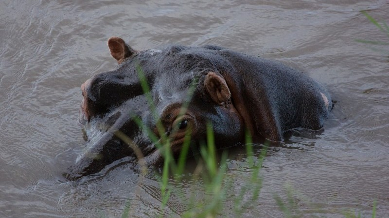 A hippo in the Sabie river (Pic: Flickr/Michael7070)