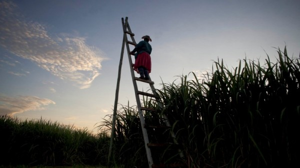 Drought sours future of Swaziland's sugar growers