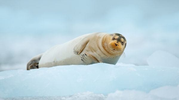 Big oil vs bearded seal: Case to test Trump climate stance