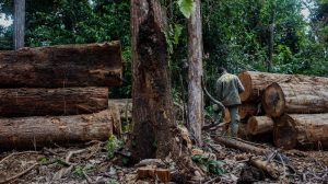 US, EU biggest importers of illegal Amazon ipe timber: report