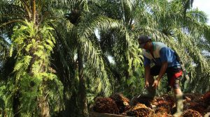 EU set to tighten rules on palm oil for biofuels