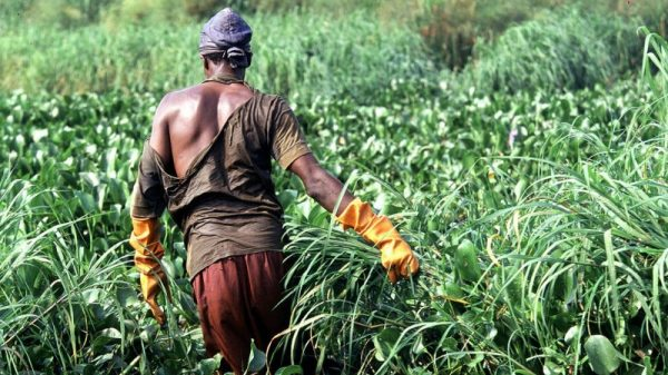 Weeds flourish and fish decline in Lake Victoria's 'deadest' corner