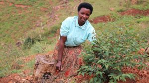 Rwandan farmers lead tree-planting effort to meet rising wood demand