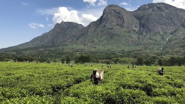 In Malawi, climate science helps tea farmers plan their future