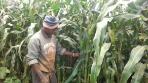 Malawi's farmers grow crops with 'magic liquid' fertiliser