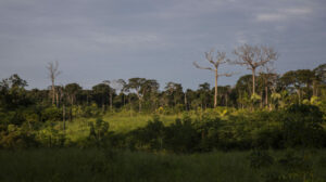 Amazon land grabbers are destroying brazil nut groves for cattle pasture