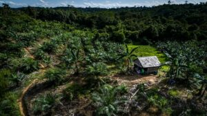 UN fund pays Indonesia for forest protection as deforestation rises